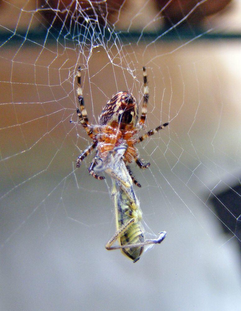 Photo in Macro #spiders #gardenspider #feedingspider #spiderweb #nature #insects #arachnids