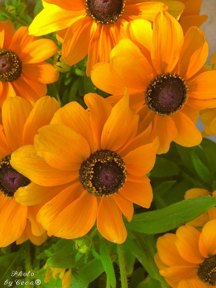 Photo in Random #flowers #blackeyedsusan #rudbeckiahirta #sunshine