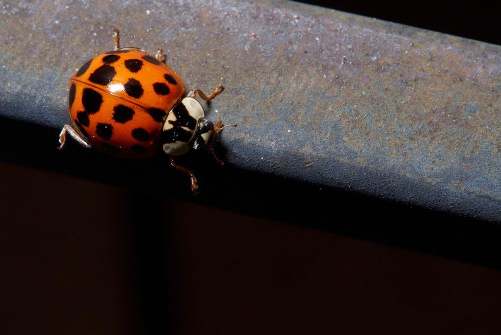 Photo in Macro #ladybug #bug #insect #macro #nature