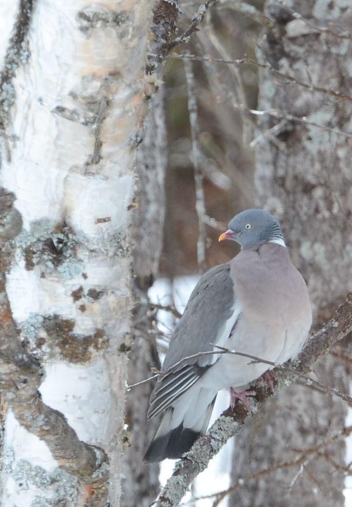 Photo in Nature #bird #ornithology #pigeon #migratory #nature #astrid helen sterner #youpic #spring #swedish lappland #animal