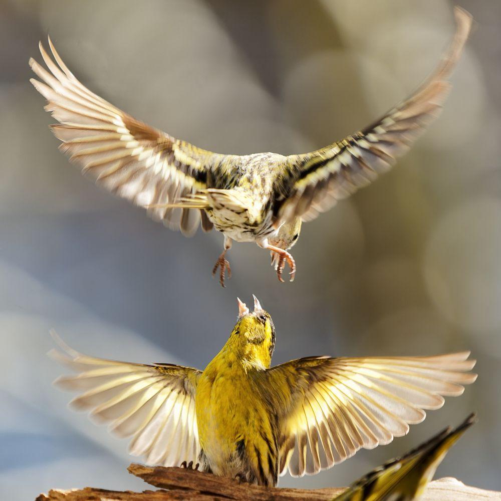 Photo in Animal #birds #siskin