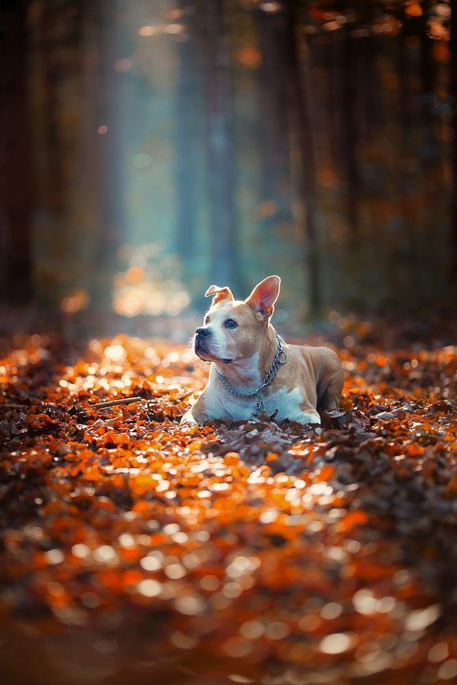Photo in Animal #dog #stafford #pit #wels #dp photography #animals #sunset #neu #new #novo #hund #austria #autumn