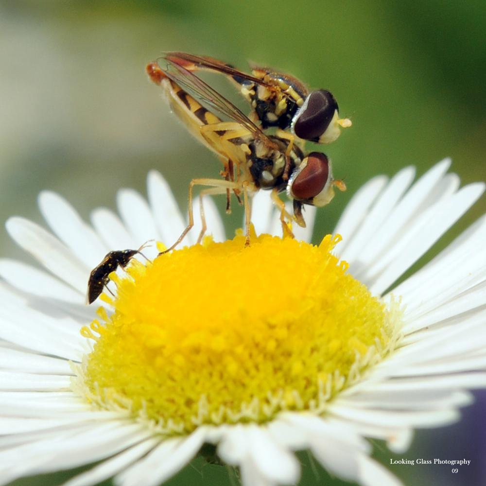 Photo in Macro #daisy #insects #macro