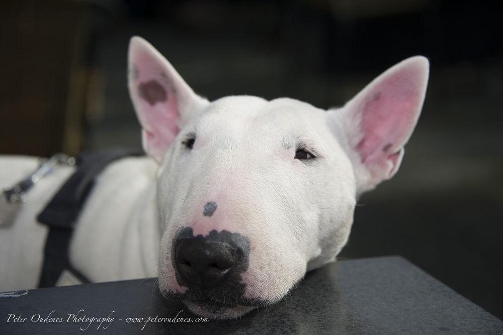 Photo in Animal #bull #terrier #bullterrier #white #sleep #dog #eye #ear #belgium #show #fashion #nikon #d3s