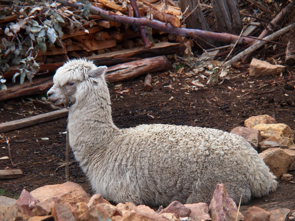 Photo in Animal #travel with me #llama #isla del sol #bolivia #travel #animals #experiences #adventure