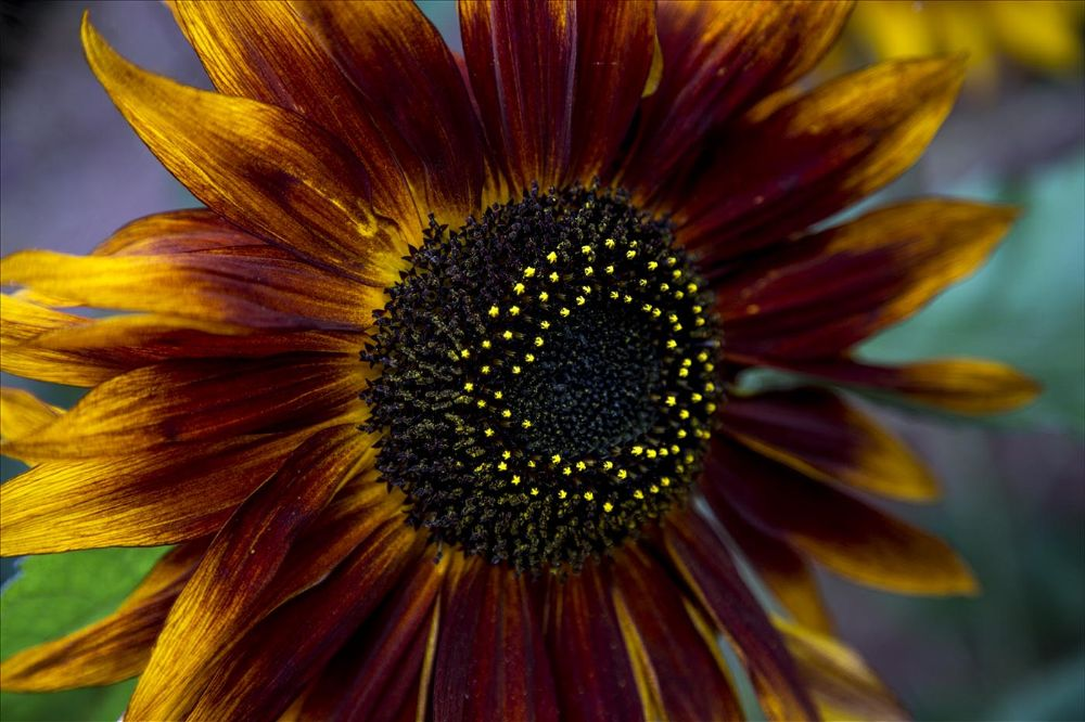 Photo in Nature #sunflower #colour #canon #eos #6d