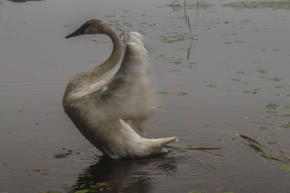 Photo in Animal #swan #lake jamie #lake #water #roland r kemler photography