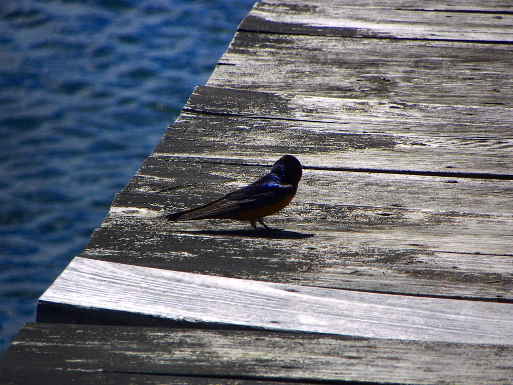 Photo in Nature #bird #birds #kingfisher #camp #boardwalk #beauty #beautifl #happy #happimess #kind #still #nature #nature photography #nature photographer #photo #photos #water #reflections #fly #colorful #wood #photograph #photographer