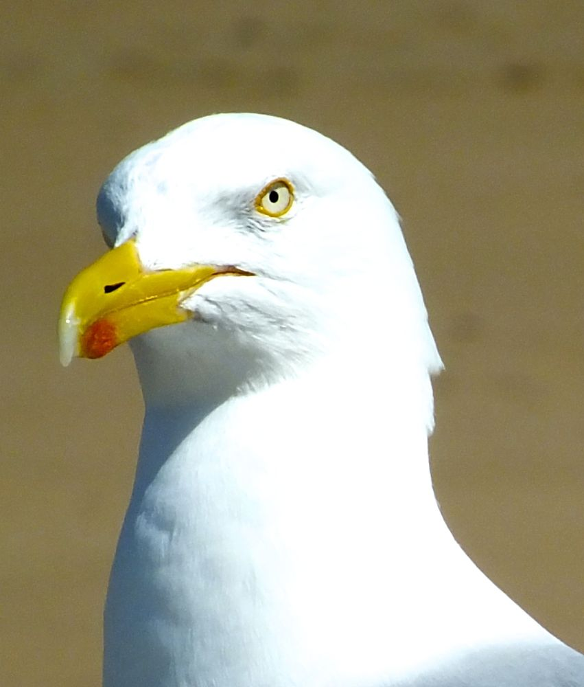 Photo in Animal #mouette #stmalo #animal
