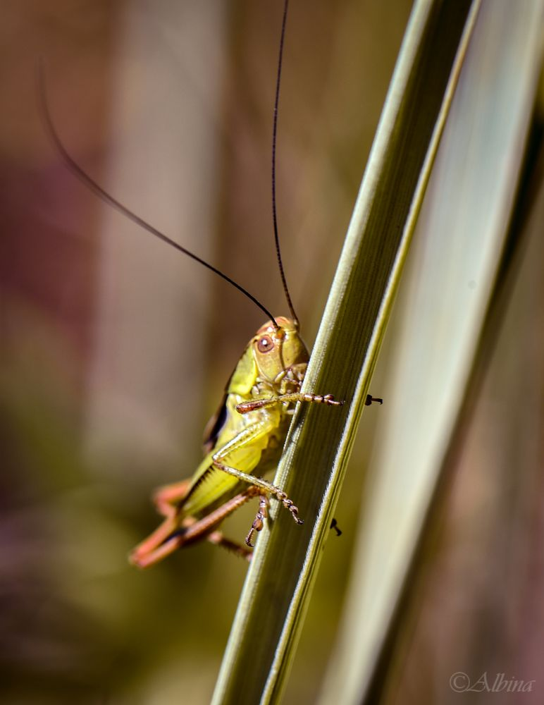 Photo in Macro #macro #nature #grasshopper