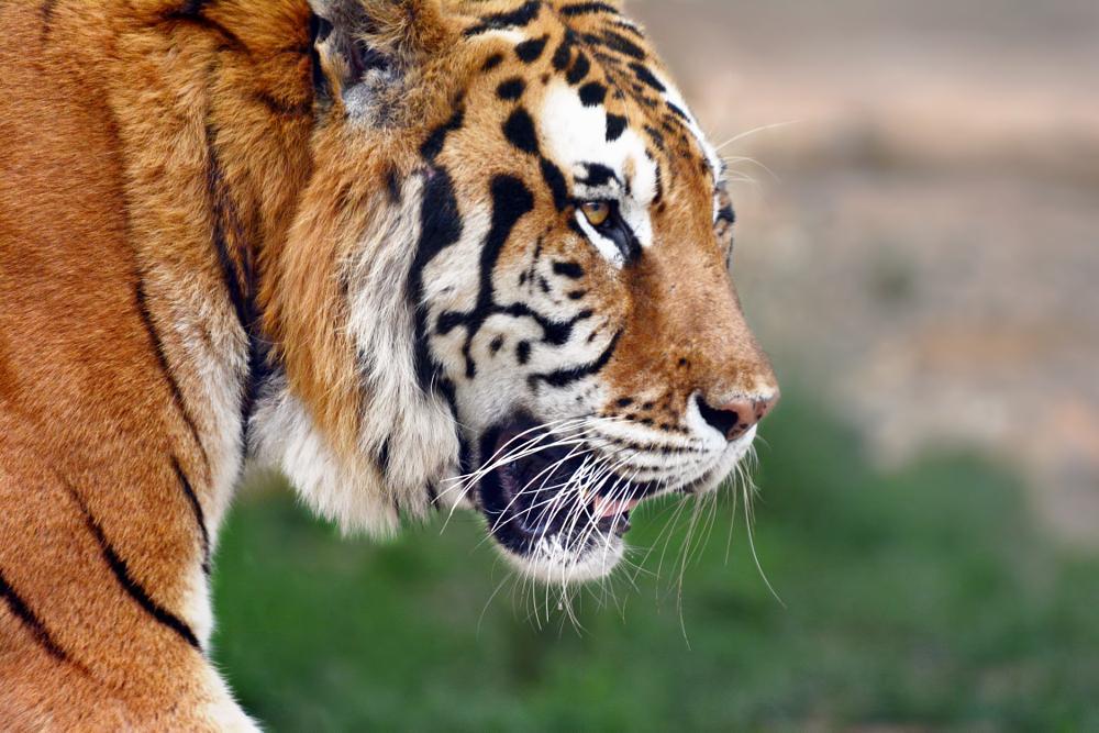 Photo in Animal #tiger #animal