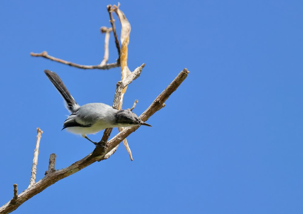 Photo in Nature #nature #animal #bird #tropical gnatcatcher #polioptila plumbea #balança-rabo-de-chapéu-preto