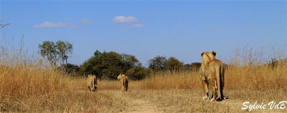 Photo in Random #the #walking #lions