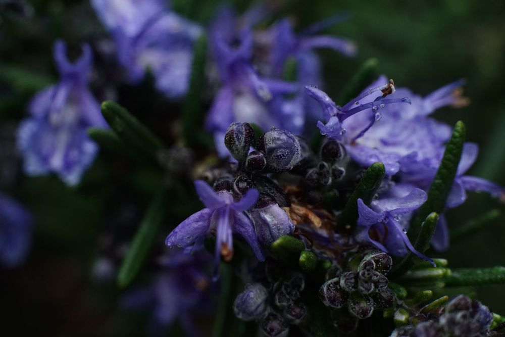 Photo in Nature #macro #rosemary #rain