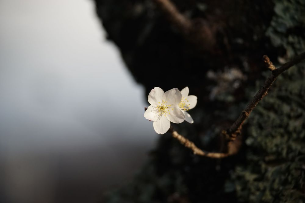 Photo in Nature #cherry tree #cherry blossoms #cherry leaves #by the river