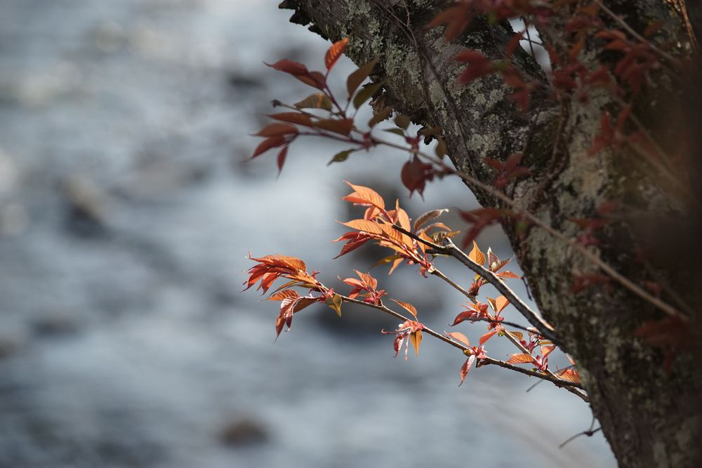 Photo in Nature #cherry leaves #cherry tree #takanogawa #by the river