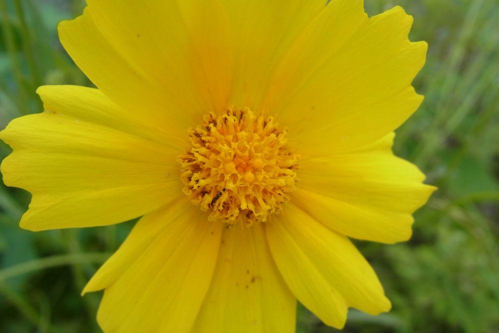 Photo in Nature #flower #yellow #june