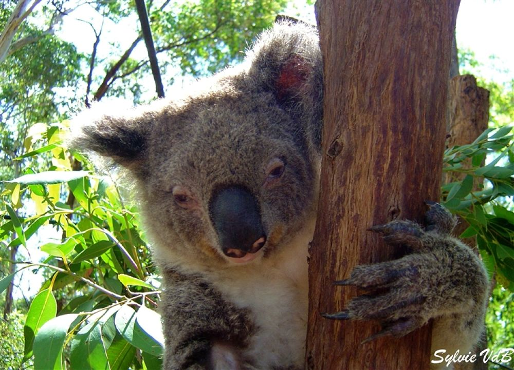 Photo in Random #port #macquarie #koala #hospital #perch #miracle