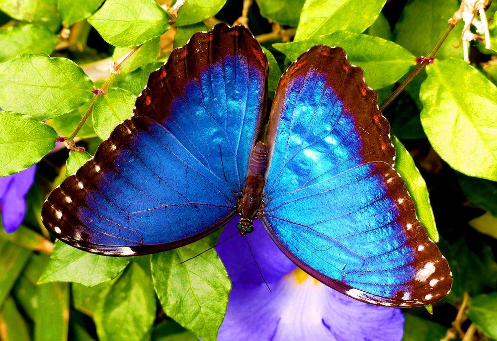 Photo in Random #mariposa morphoazul #insecto #mariposa #lepidopteros #morpho blue #mariposa