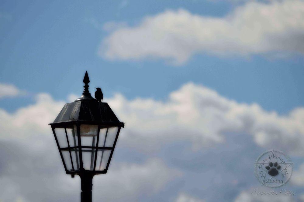 Photo in Random #lamp #post #bird #nature #sky #australia