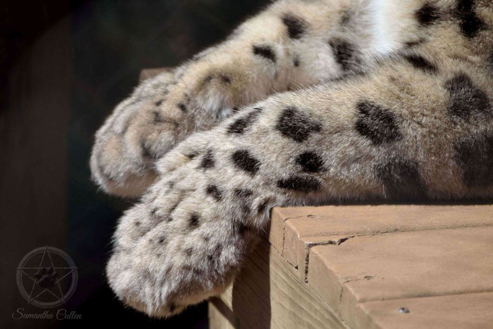 Photo in Animal #snow leopard #america #usa #paws #animal