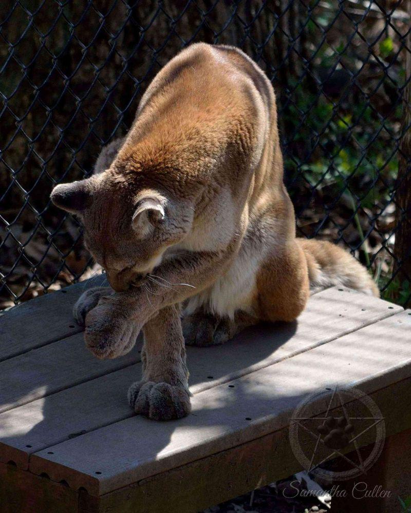 Photo in Animal #cougar #mountain lion #usa #america #animal