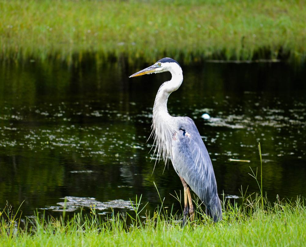 Photo in Nature #birds #water #blue #heron #nature