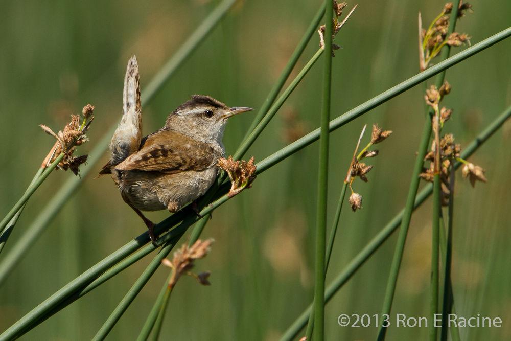 Photo in Random #birds #nature #wren
