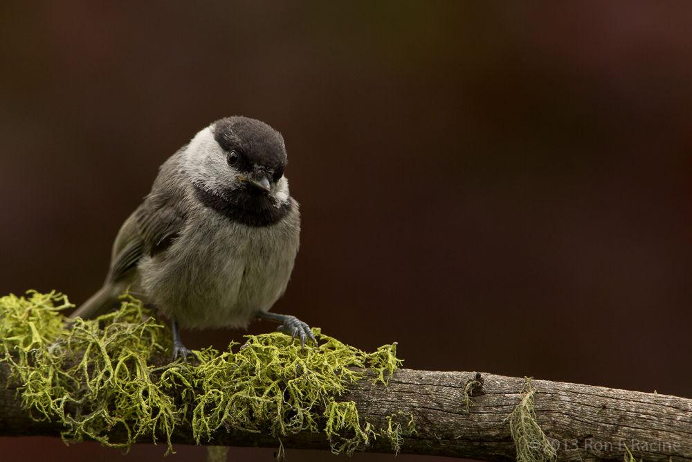 Photo in Random #birds #nature #chickadee