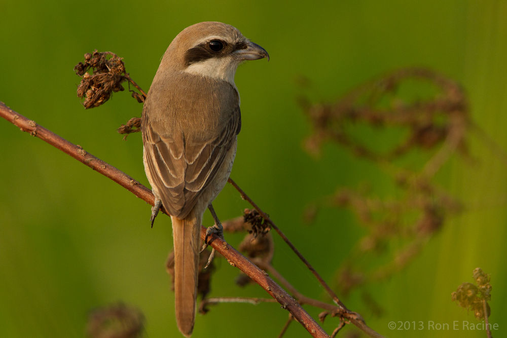Photo in Random #avian #birds #nature #shrike #thailand