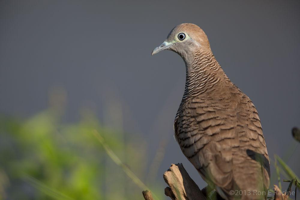 Photo in Random #bird #birds #nature #wildlife #dove