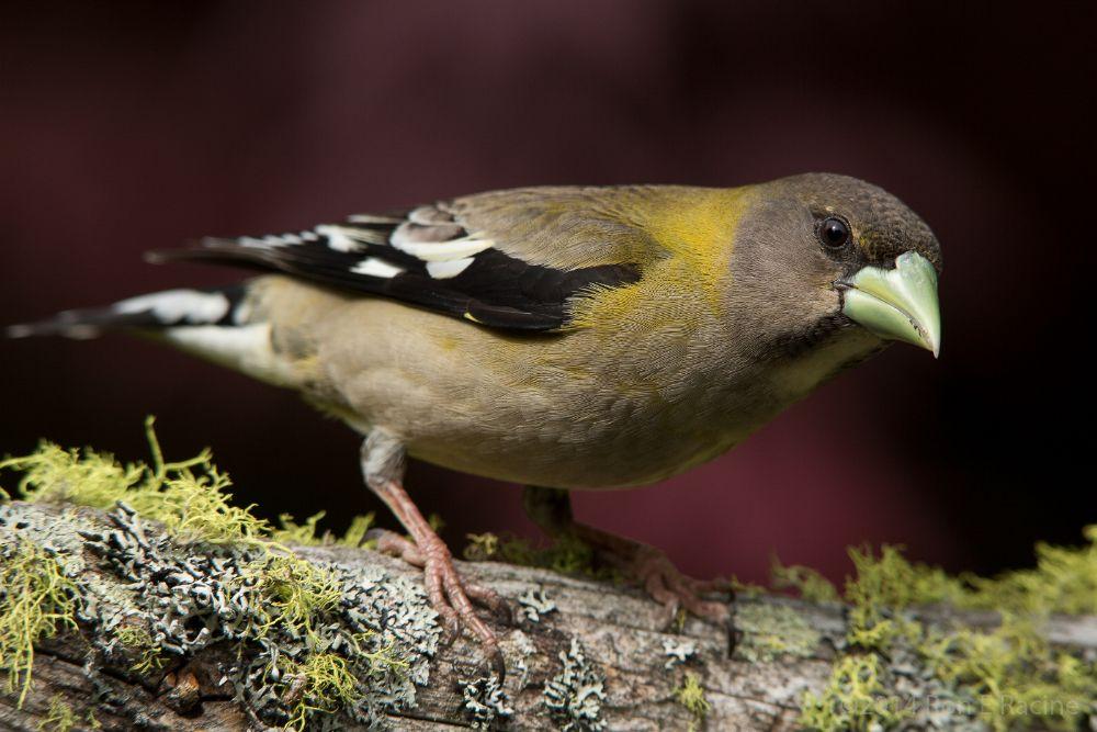 Photo in Animal #bird #nature #grosbeak #kelowna