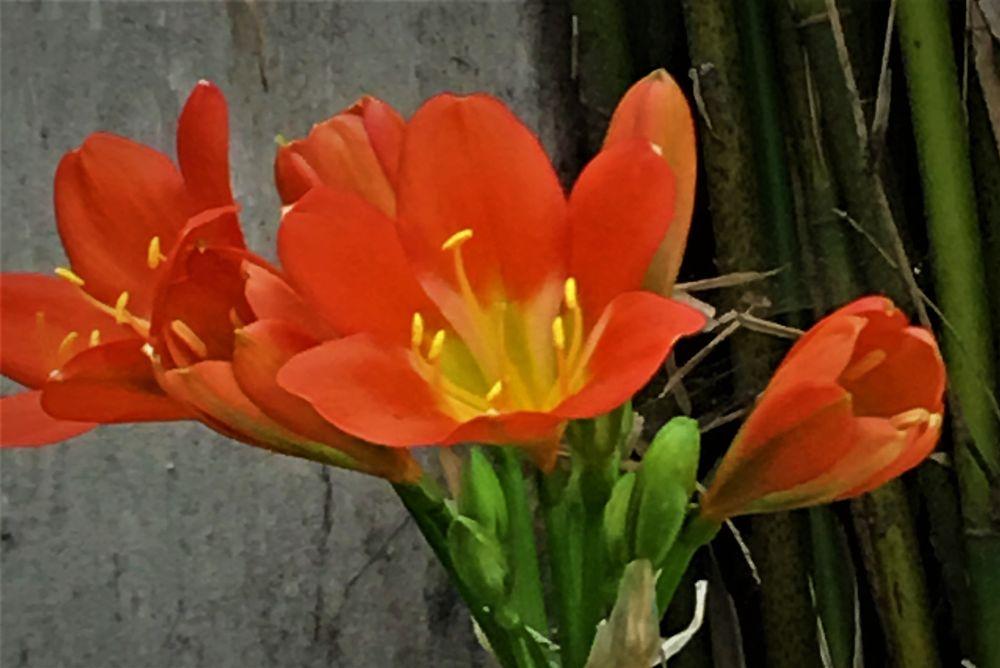 Photo in Landscape #clivia #orange #green #flower #summer #amazing
