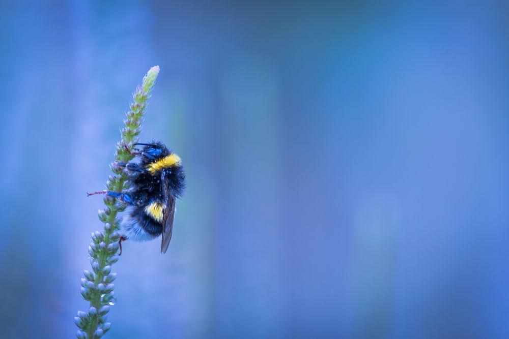 Photo in Nature #mirza buljusmic #nature #bee #bumblebee #flower #blue light #blue #scandinavia #sweden #malmö