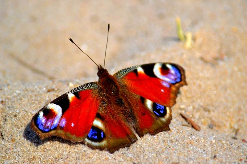 Photo in Nature #butterfly #color #colors #nikon #animal #insect #dańko #sylwester dańko #at close range #nature