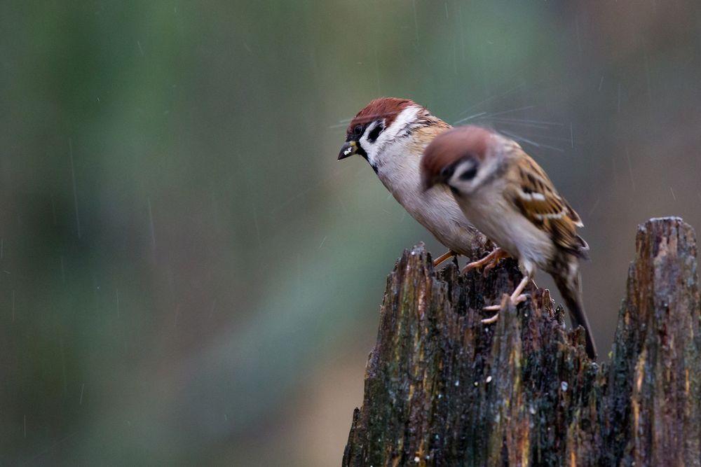 Photo in Animal #eurasian tree sparrow #bird #rainy day