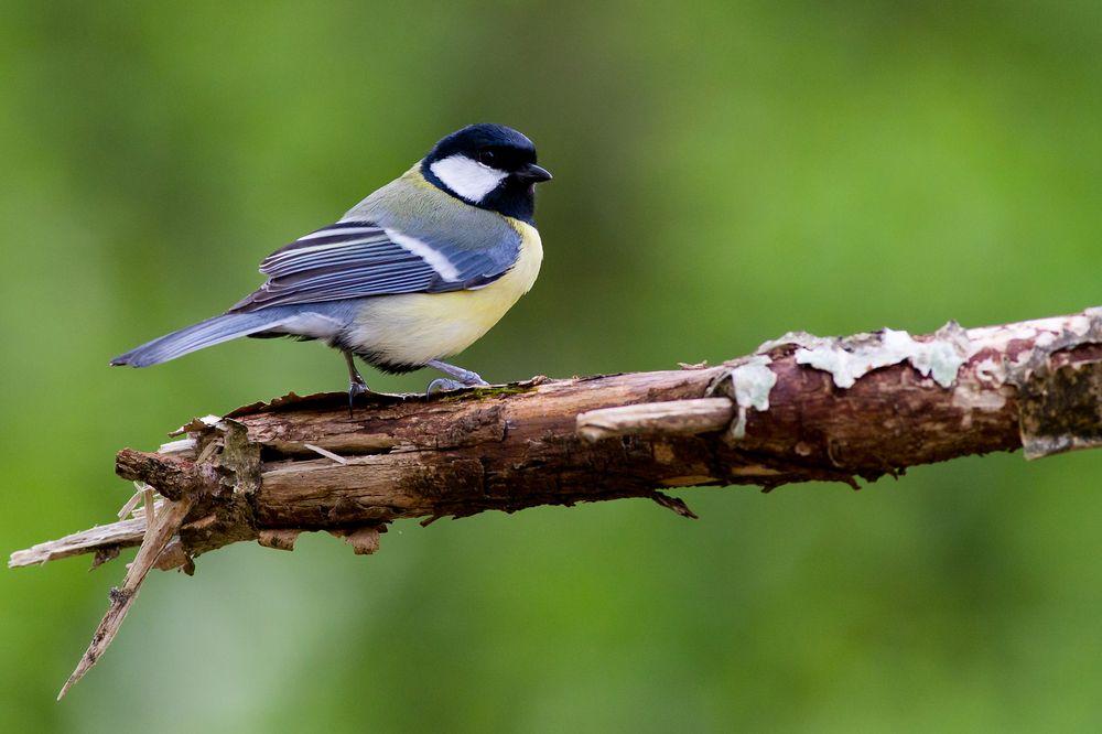 Photo in Animal #great tit #bird