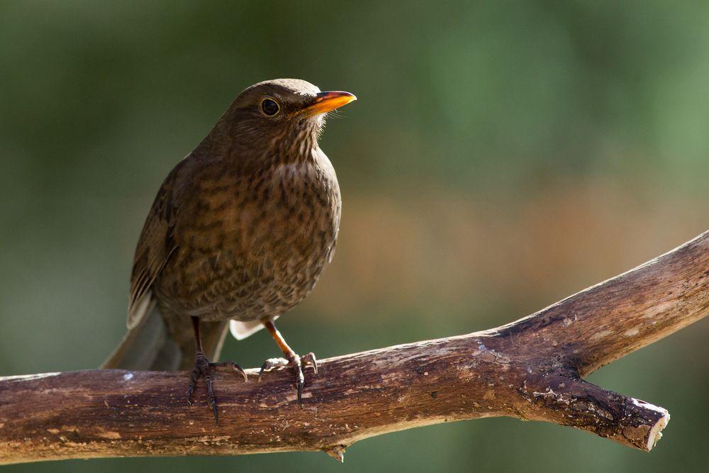 Photo in Animal #blackbird #bird