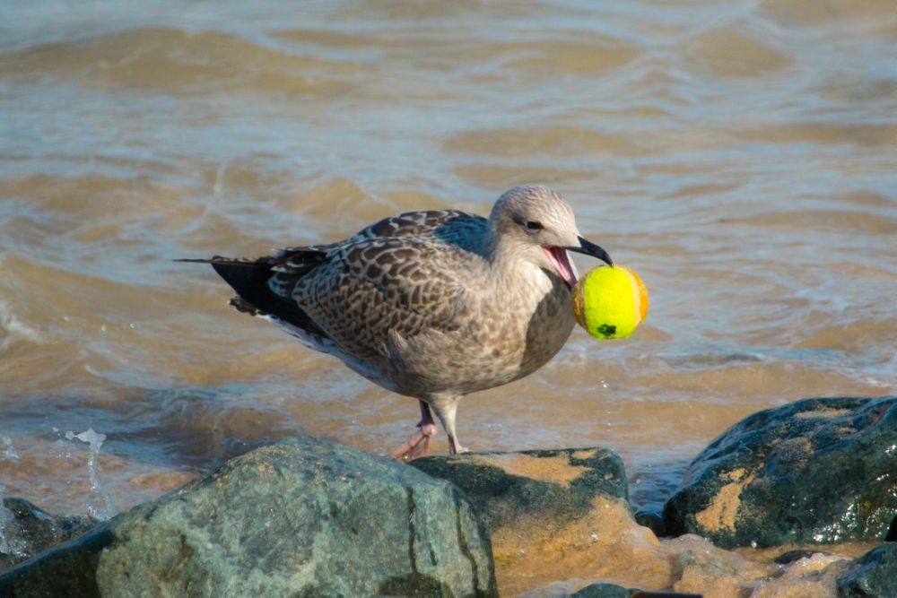 Photo in Nature #seagull #tennis ball #just wrong