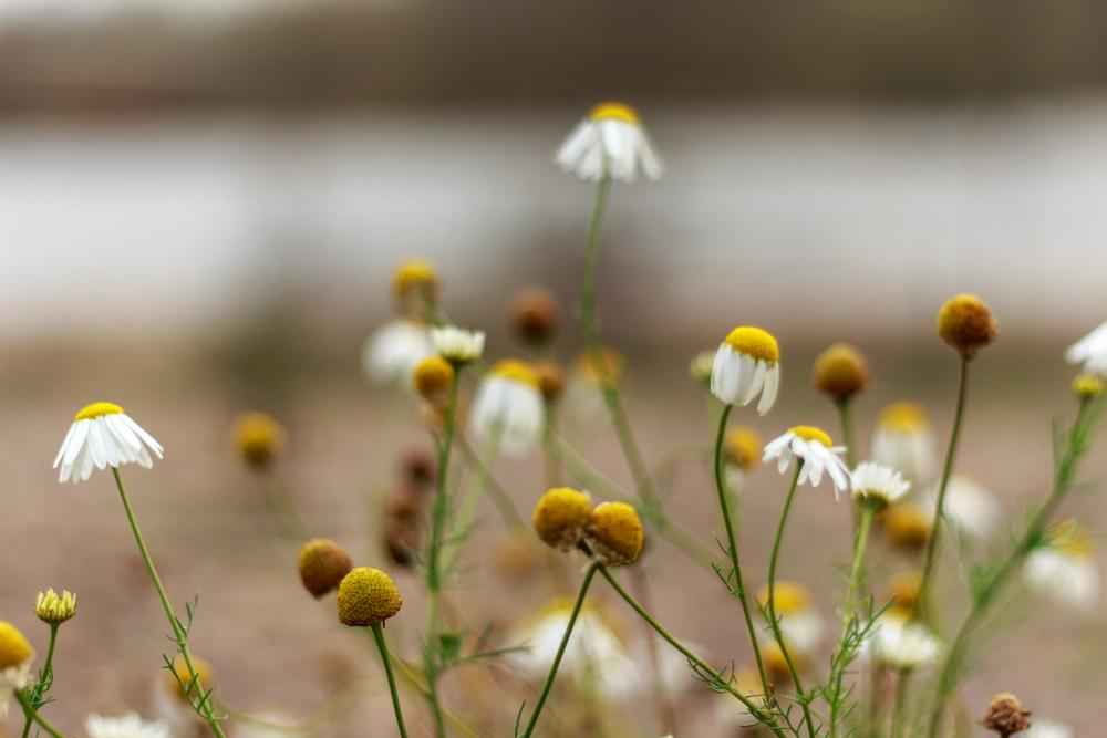 Photo in Nature #flowers #daisy #daisies #winter