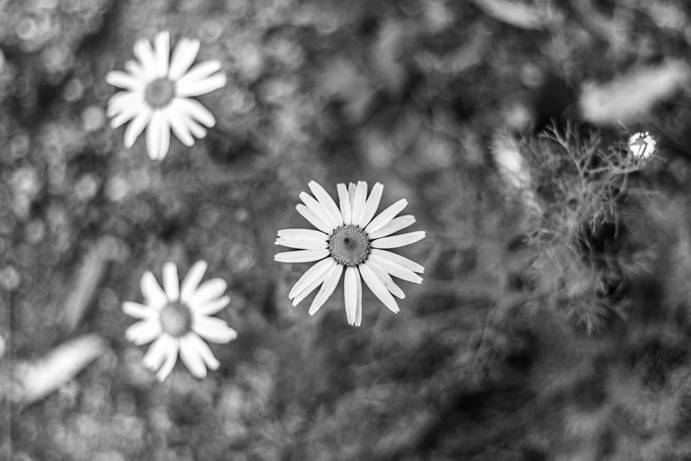 Photo in Black and White #daisy #daisies #three #triangle #bokeh