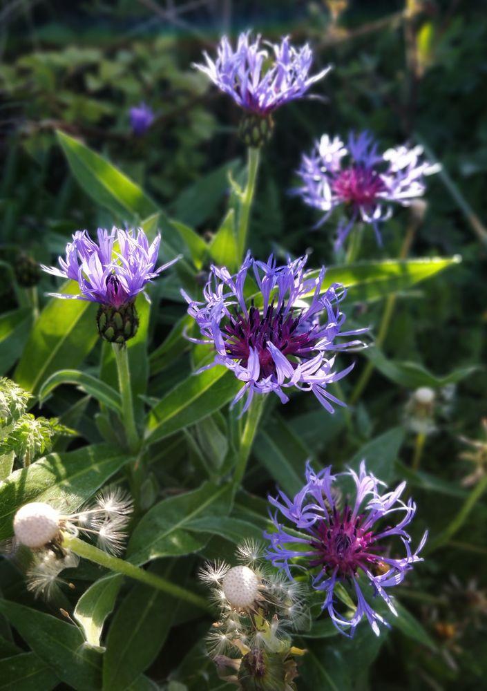 Photo in Random #cornflower #summer #morning #sunshine #flora
