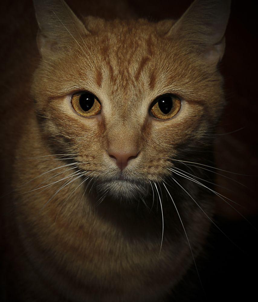 Photo in Animal #cat #kitty #feline #male #whiskers #eyes #pet #domestic #sammy