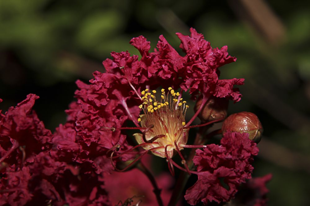 Photo in Macro #red #crape myrtle #tree #bloom #plant #garden #summer #macro