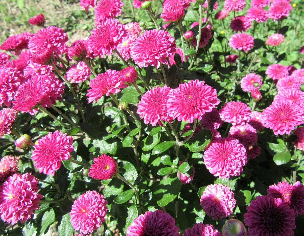 Photo in Nature #flowers #mums #pink