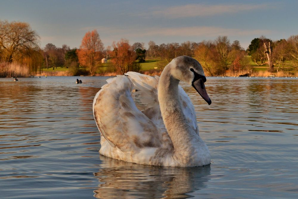 Photo in Random #nature #wildlife #bird #birds #swan #english parkland #nikon #d3200