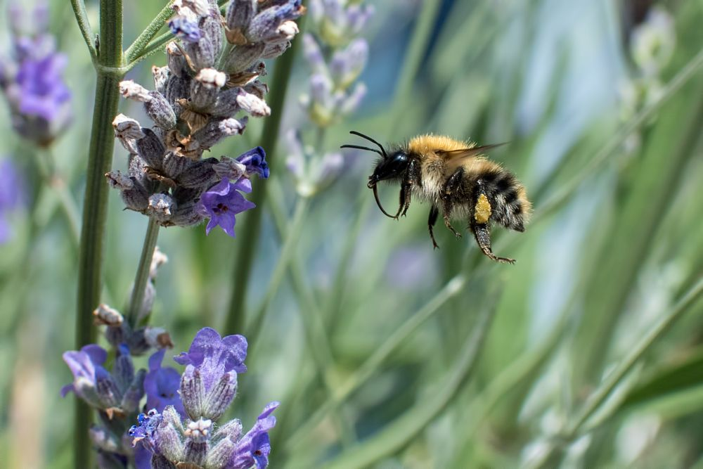Photo in Nature #bee #lavender #flying #insect #flowers #flower #mart r porter