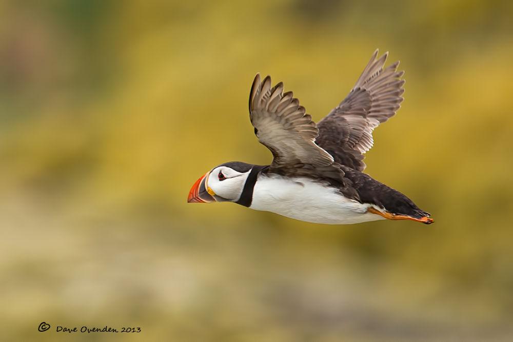 Photo in Random #puffin #avian #flight #staple #ovenden