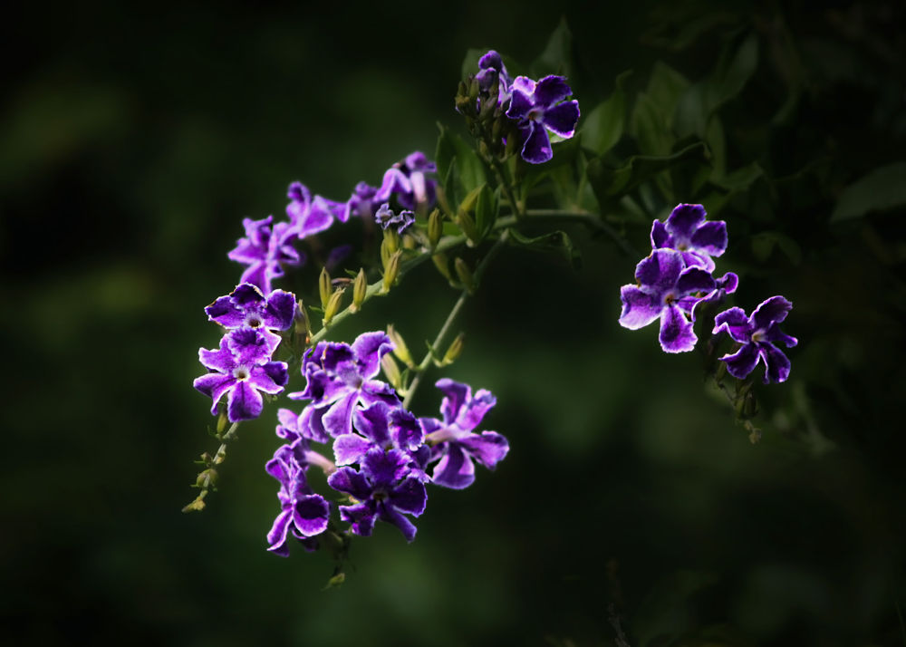 Photo in Nature #violet #blue #stars #flower #nature