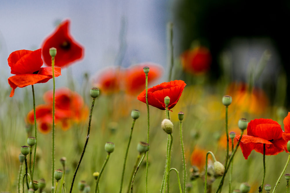 Photo in Nature #nature #coquelicots #flower #fleur #canon